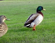 Mallard Ducks Meet Mabel